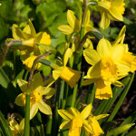 Narcissus--Tete-a-tete-_LW