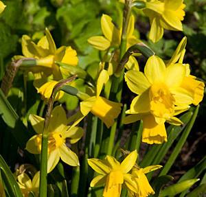Narcissus--Tete-a-tete-_LW
