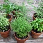 The Herb Garden1